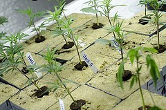 Medical marijuana being grown